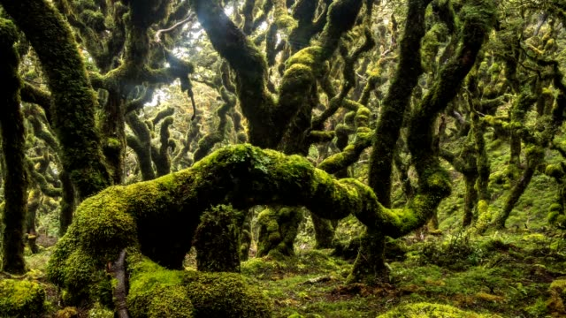 Mystic of green rain forest trees covered with moss in New Zealand wild nature Time lapse Dolly shot