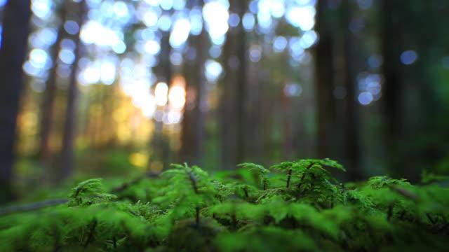 HD mystischen Wald (Endlos wiederholbar – Video