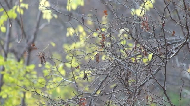 Naked branch with a few dry leaves slightly swaying in the wind video
