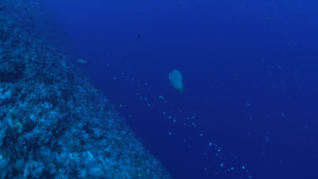 vídeos y material grabado en eventos de stock de napoleón y las mariposas en el arrecife de coral submarino - zona pelágica
