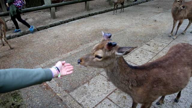 nara geyik japonya - benekli geyik stok videoları ve detay görüntü çekimi