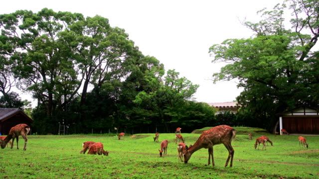 nara geyik ücretsiz nara parkı, japonya'da adv için dolaşıyor. veya diğer kullanım amacı - benekli geyik stok videoları ve detay görüntü çekimi