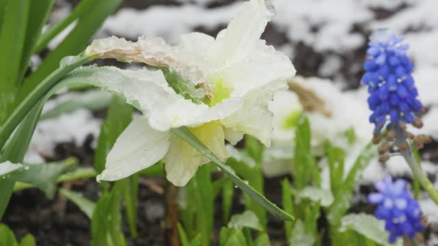 Narcissus flower under the snow