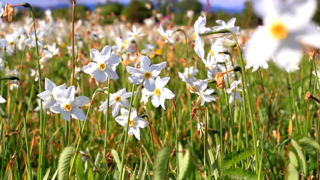 Narcissus flowering in the field. Beautiful big floral bed video