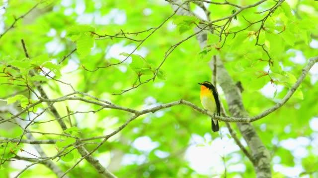 vídeos de stock e filmes b-roll de narcissus flycatcher - maio
