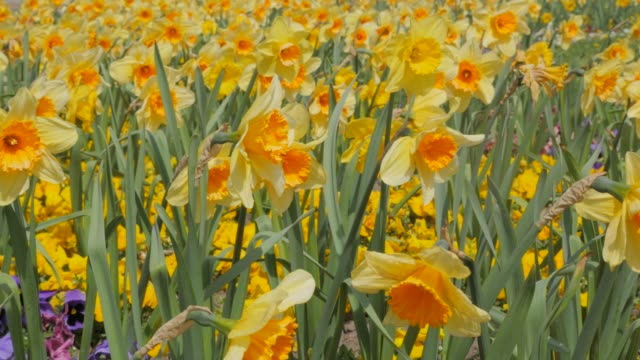 Narcissus pseudonarcissus flower field slow waving by the wind 4K