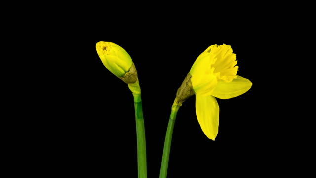 Narcissus Time Lapse (4k) video