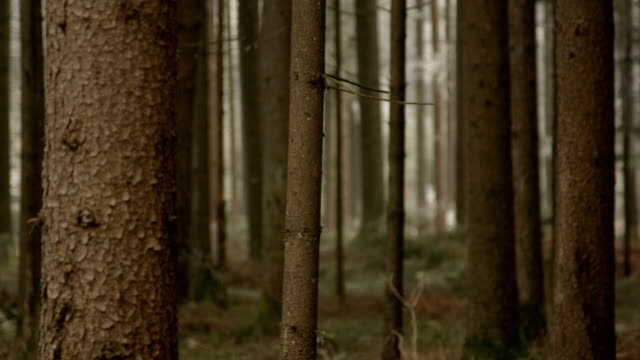 CLOSE UP, DOF: Narrow and tall tree trunks growing in beautiful spruce forest video