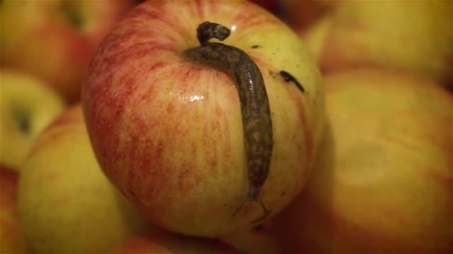 Nasty slug kryller över på Apple lämnar spår av slem bakom det Pest av trädgårdar och fruktodlingar video