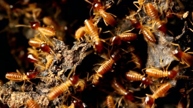 Nasute termites defending a break in their nest In tropical rainforest, Ecuador isoptera videos stock videos & royalty-free footage