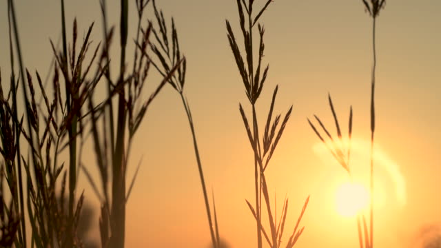 Native Bluestem Prairie Grasses at Sunrise video