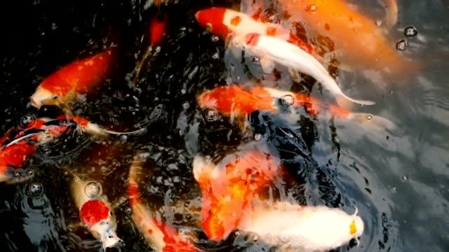 stockvideo's en b-roll-footage met natuurlijke achtergrond, aquarium close-up. levendige kleurrijke japanse koi karper vissen zwemmen in de traditionele tuin vijver. chinese fancy karpers onder het wateroppervlak. oosterse symbolen van geluk en veel geluk. - carp