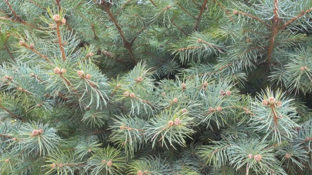 Natural background, fir tree branch sways on a wind. video