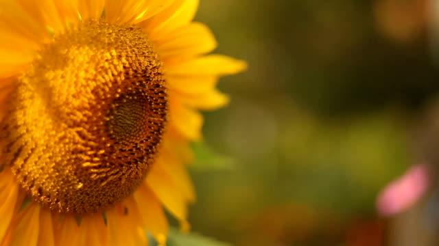natural background image of beautiful yellow sunflower