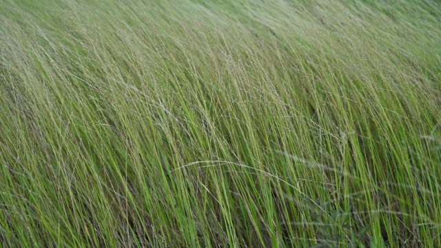 Natural background of long grasses waving in the warm summer wind in a meadow