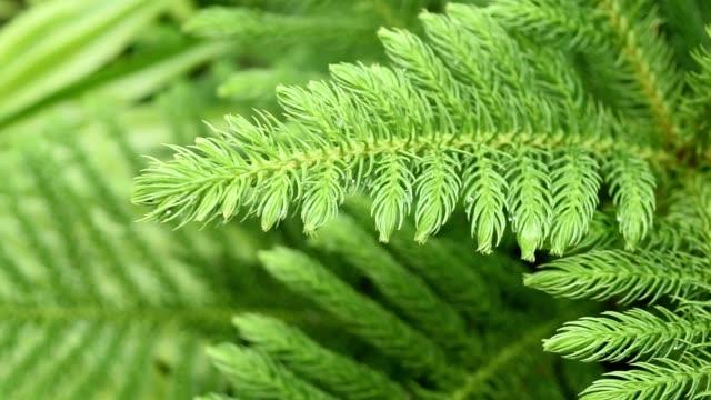 naturlig bakgrund, tall närbild - städsegrön växt bildbanksvideor och videomaterial från bakom kulisserna