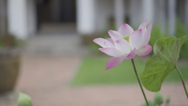 Natural beautiful pink lotus flower with blurred background