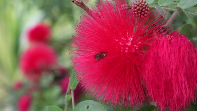 vídeos de stock e filmes b-roll de natural bee pollinating on a red flower - calliandra haematocephala