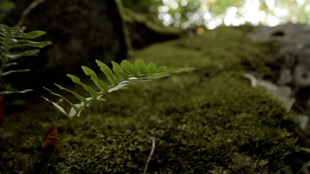 Natural Fern and Moss Growing On Large Rock video