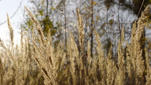 natural grass waving in the winds in the autumn at sunlight