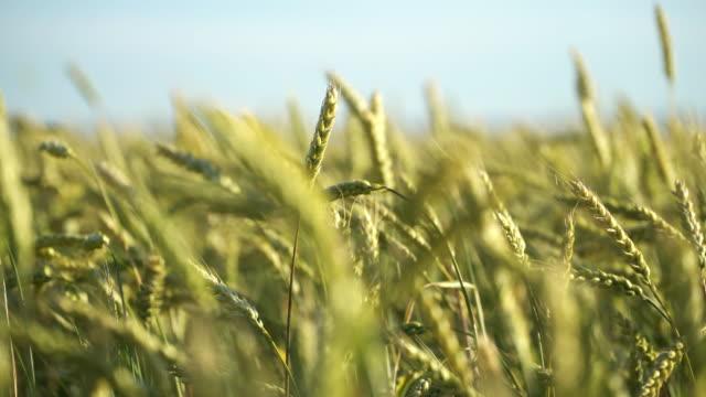 天然の緑色の小麦の茎が風に吹きます。 ビデオ