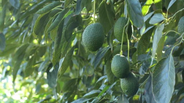 Natural hass avocados hanging