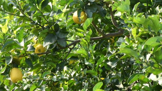 natural lemons fruit in a lemon tree a sunny day - лимонный сок стоковые видео и кадры b-roll