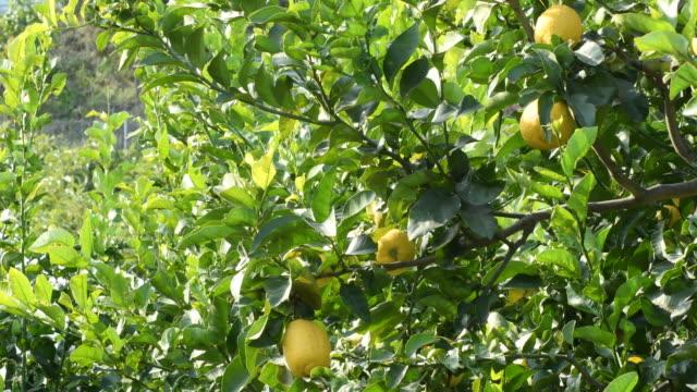 natural lemons in a lemon tree a sunny day - лимонный сок стоковые видео и кадры b-roll