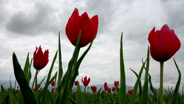 Natural Red Tulips video