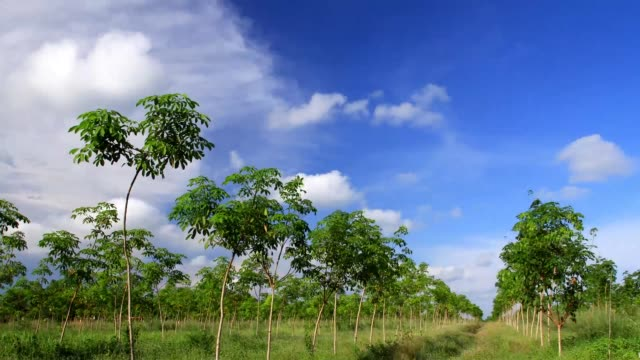 Natural rubber trees with blue sky
