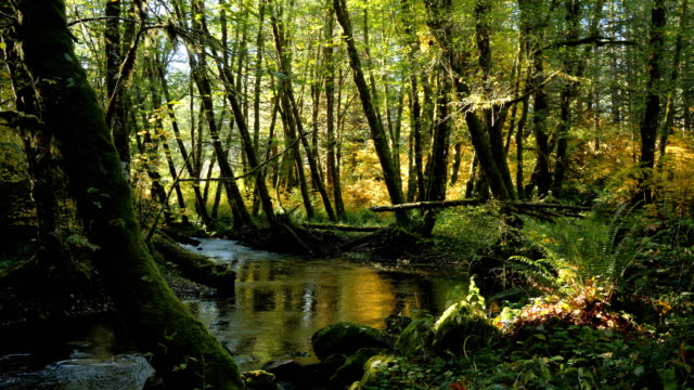 Natural Stream in a forest: Pacific Northwest video