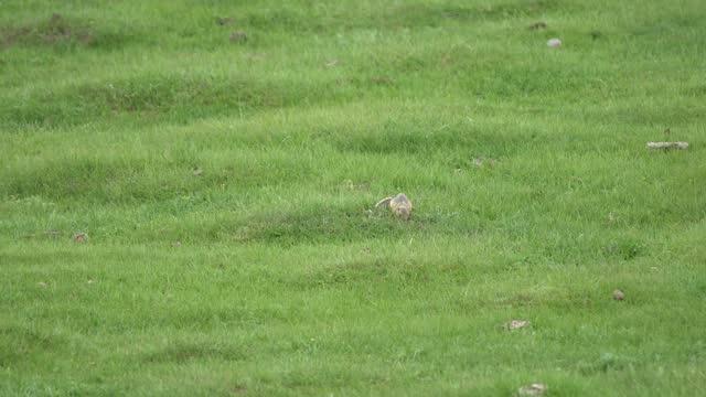 Natural Wild Ground Squirrel in Green Grassland