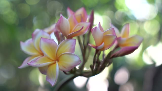 Nature and flowers, Plumeria flowers on bokeh background, Focus on the flowers at the front line.