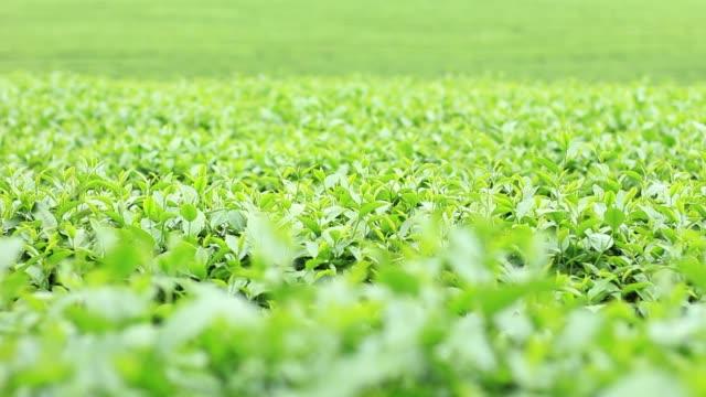doğa, yeşil çay plantasyon. - start stok videoları ve detay görüntü çekimi