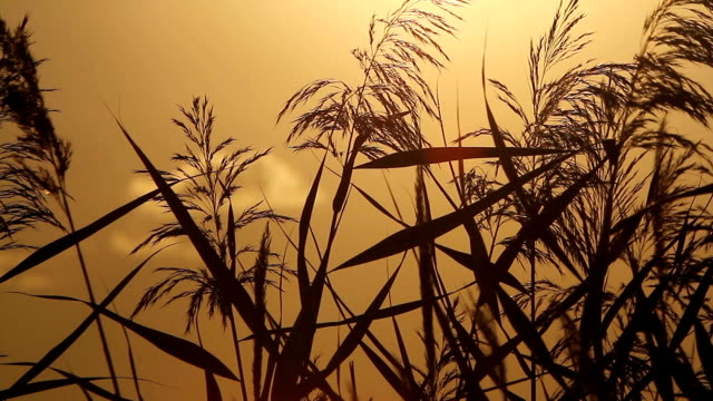Nature Backgrounds - Silhouette of Reed on Sunset video