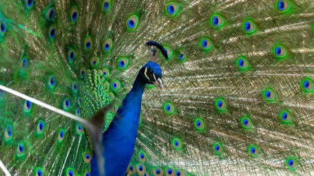 nature, beauty, courtship. bautiful peacock making love dance - peacock стоковые видео и кадры b-roll