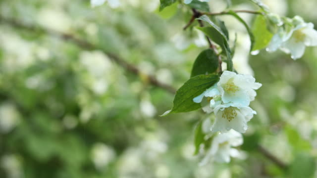 Nature frame with rain drops on branch beautiful white blooming Jasmine, buds, blooming Philadelphus flowers or mock orange. video