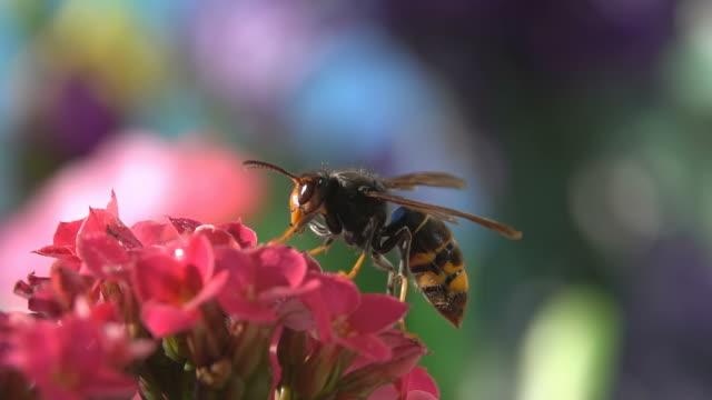 natur-insekt reinigung antenne und mengenermittlung blume bunt - hornisse stock-videos und b-roll-filmmaterial