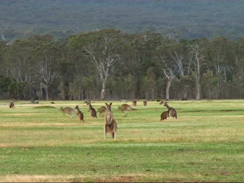 Nature - Kangaroo Group A group of kangaroo's resting, eating, hopping kangaroo stock videos & royalty-free footage