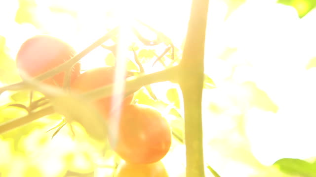nature light tomato video