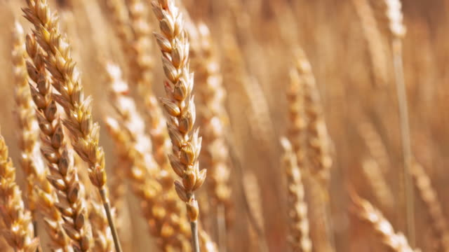 Nature scene gold wheat stalks on the farmland