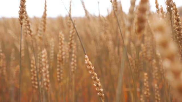 Nature scene golden wheat stalks on the farmland Close up grow culture stalks on the farmland point of view, no people. Environmental concept of wildlife. Country side landscape with dry grass and cloudy skyline. Beautiful idyllic autumn scene rye grain stock videos & royalty-free footage