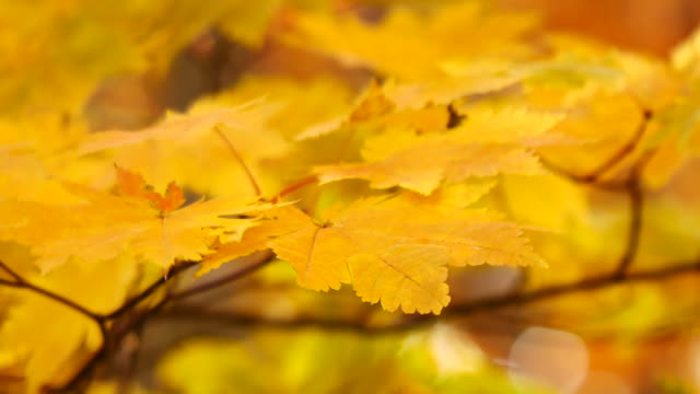 vídeos de stock e filmes b-roll de nature video the scene of golden maple leaves in the fall was wind-blowing. golden light shines to maple leaves. in the forest between the gold line routes on the mountain in nature concept. - folha vermelha