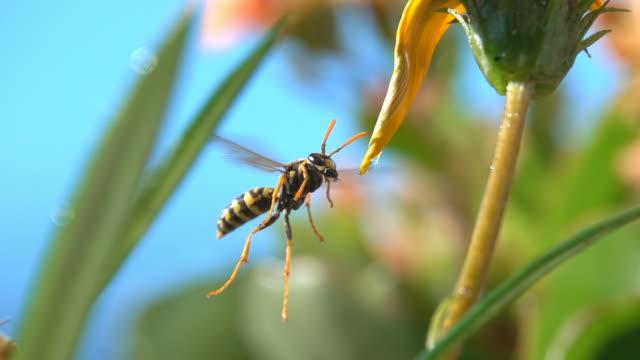 natur-wespe insekten trinken im schwebeflug - wespe stock-videos und b-roll-filmmaterial