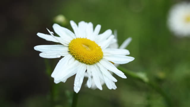 Nature with rain drops on branch beautiful white blooming chamomile video