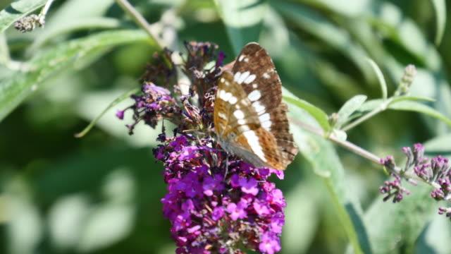 4K Nature/Wildlife/Weather Schmetterling saugt mit seinem Rüssel Nektar von einer Blüte einer Distel. nectarine stock videos & royalty-free footage