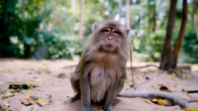 komik eylem ile yaramaz maymun. - makak maymunu stok videoları ve detay görüntü çekimi