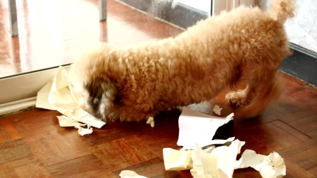 Naughty poodle dog playing with paper on floor at home video