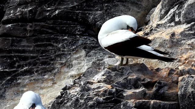 vídeos de stock, filmes e b-roll de atobá de nazca, sula granti, das galápagos - atobá