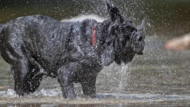 vidéos et rushes de slo mo napolitain mastiff secouant l'eau au soleil - tête d'un animal